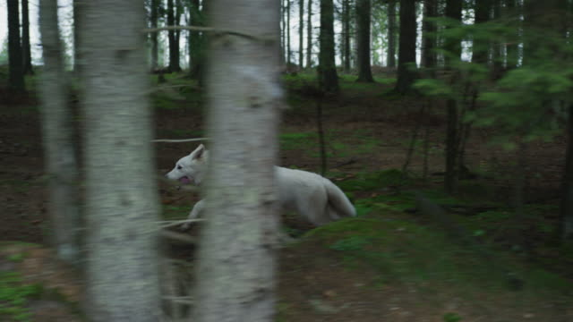 White dog running into the woods