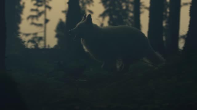vit hund löpning - wolf bildbanksvideor och videomaterial från bakom kulisserna