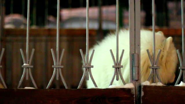 vídeos de stock e filmes b-roll de branco cão sentado atrás de uma vedação - samoiedo
