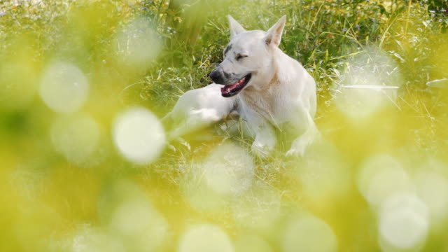 white dog sitting in the grass. video