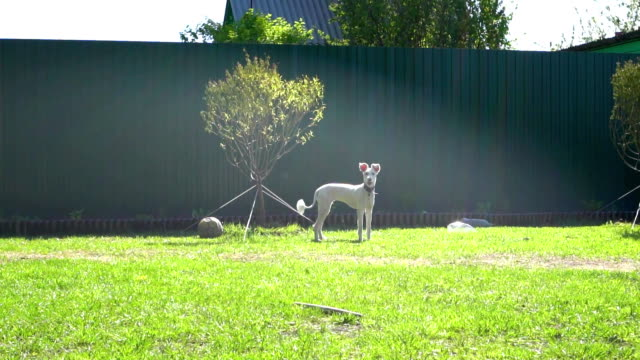 A white dog stands on the lawn on the grass under the sun glare. video