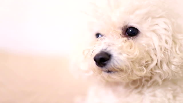 cane bianco - bichon frisé video stock e b–roll