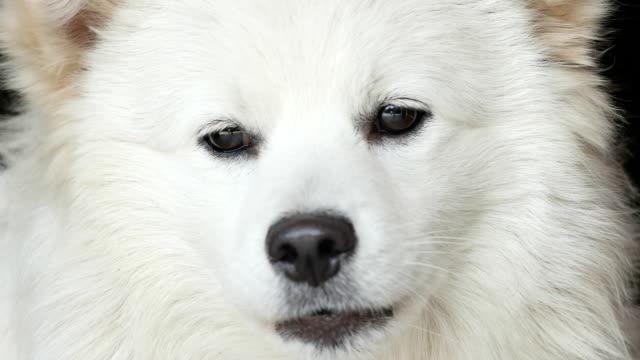 vídeos de stock e filmes b-roll de cão branco - samoiedo