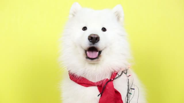 White dog with a garland. Big dog Laika with a garland around her neck near the yellow background christmas fun stock videos & royalty-free footage