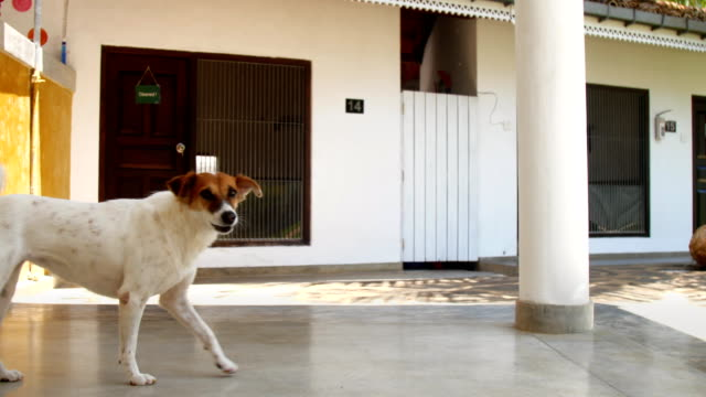white dog with brown muzzle funny tail walks along shelter