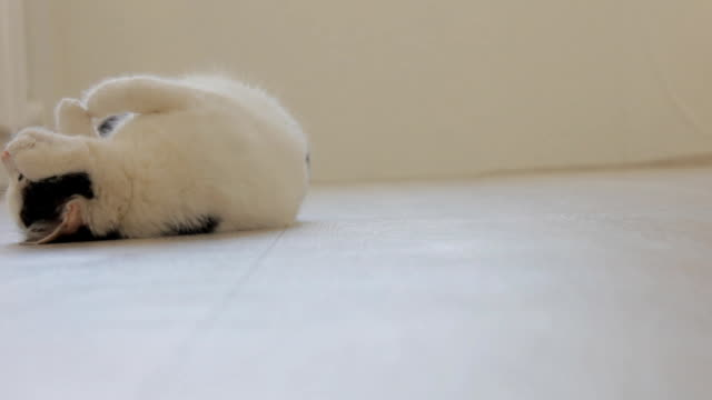 White domestic cat with black spots, playing, swinging on the floor and looking at the camera, white background