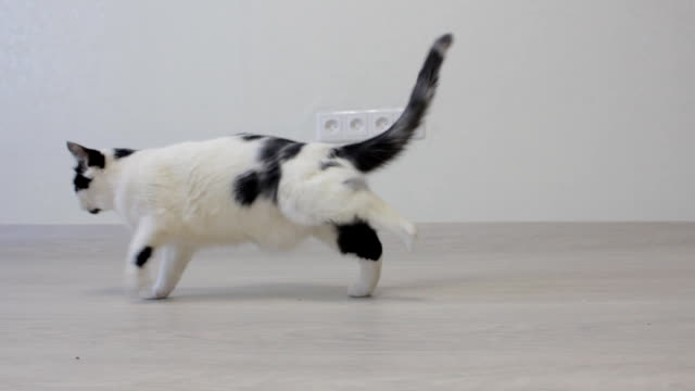 white domestic cat with black spots shakes its paws, white background - chiedere scusa video stock e b–roll