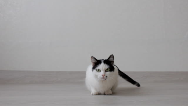 White domestic cat with black spots wants to cat, white background