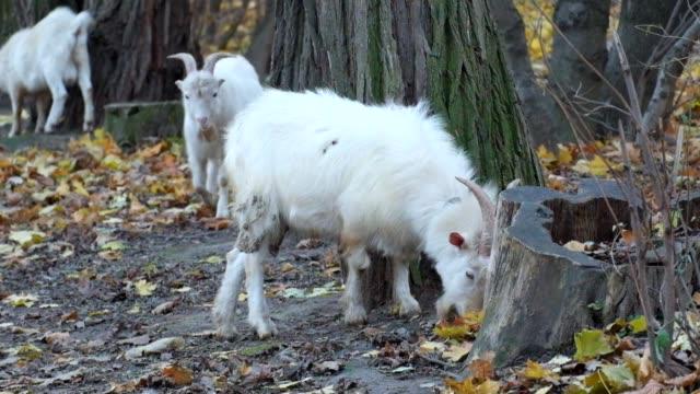 White domestic goats eat fallen yellowed leaves (Capra aegagrus hircus) video