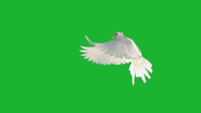 white dove fiying on green screen