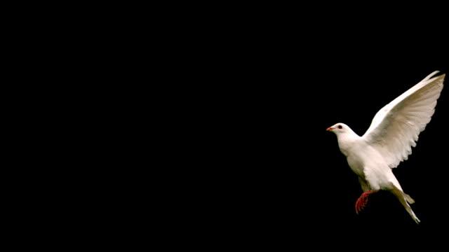 bianca colomba volando su sfondo nero - colomba video stock e b–roll