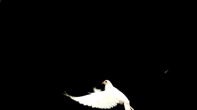 White dove flying up across black background video