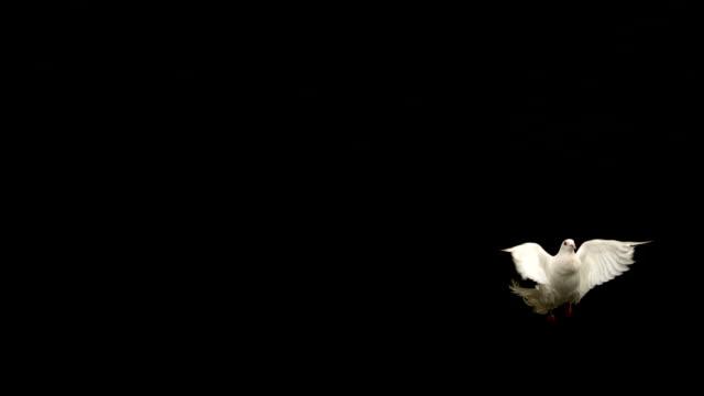 bianca colomba della pace vola su sfondo nero - colomba video stock e b–roll