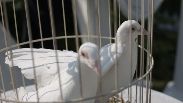weiße tauben in einem käfig an einem sonnigen tag vor der hochzeitszeremonie - käfig stock-videos und b-roll-filmmaterial