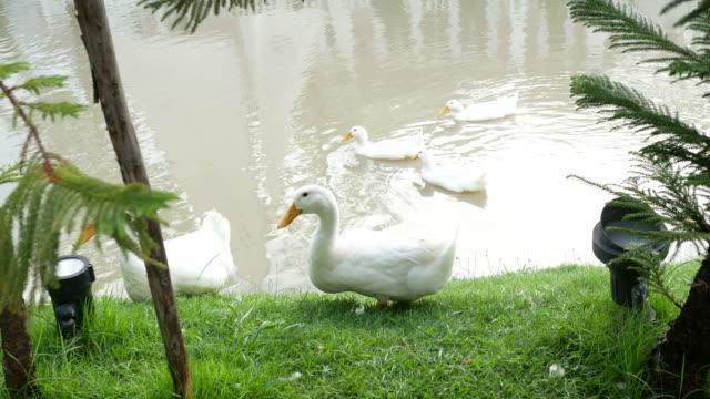 white duck at lakeside - утка водоплавающая птица стоковые видео и кадры b-roll