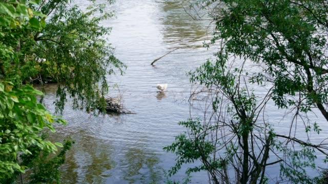 stockvideo's en b-roll-footage met een witte eend op de rivier tussen de vele groene bomen - eindhoven