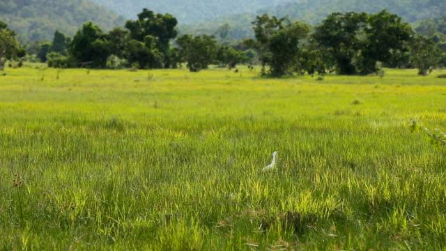 vita hägrar fågel i grönt fält - single pampas grass bildbanksvideor och videomaterial från bakom kulisserna