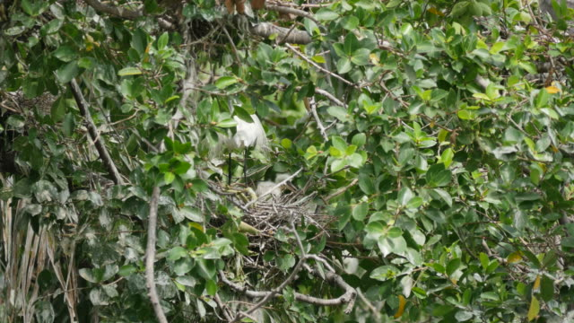 White Egret caring flapper in a nest on tree. video