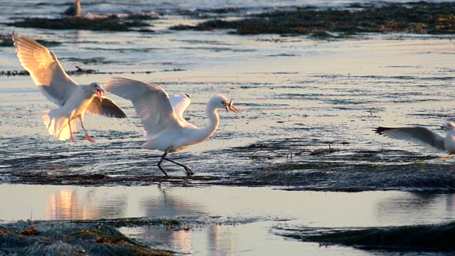 White Egret Catches Fish And Has Them Stolen By Seagulls video