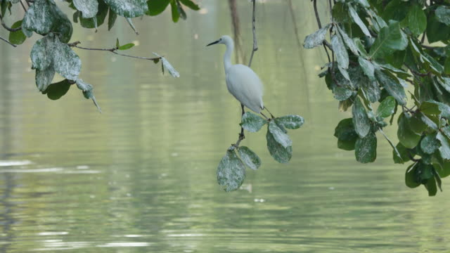 White Egret perch on a branch to find victims. video