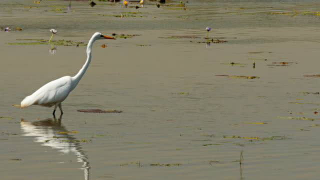 white egret wading