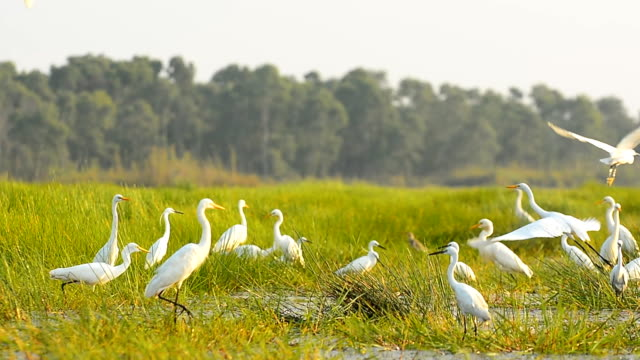 white egrets in Thale Noi Waterfowl Park, Phathalung, Thailand video