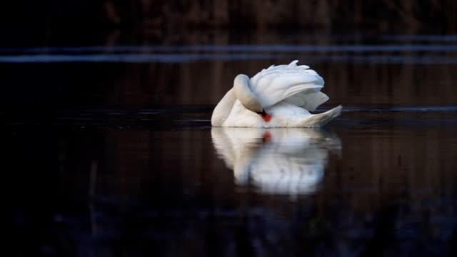 White elegant swan. White elegant swan in lake with reflection. animal limb stock videos & royalty-free footage