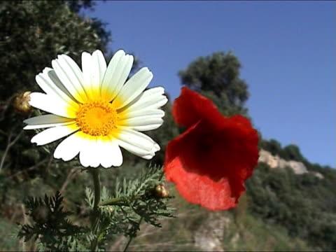 fiore bianco e poppy - parte della pianta video stock e b–roll