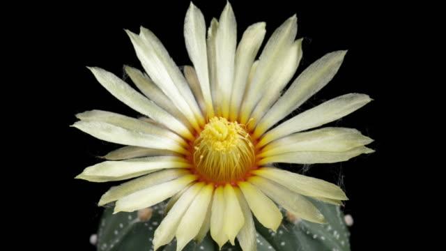 White Flower Astrophytum Time-lapse
