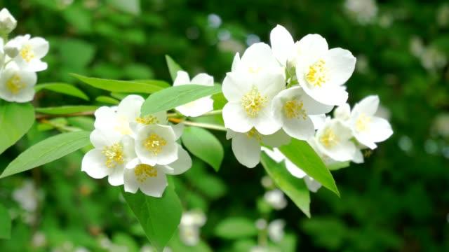 vídeos de stock e filmes b-roll de white flower blooming philadelphus coronarius video - maio