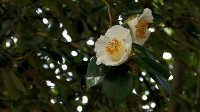 stockvideo's en b-roll-footage met white flower of camellia in yamanobe road,nara,japan - camelia white