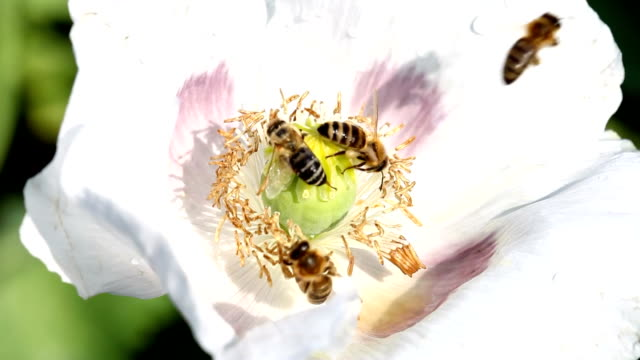 white flower of papaver somniferum with bees