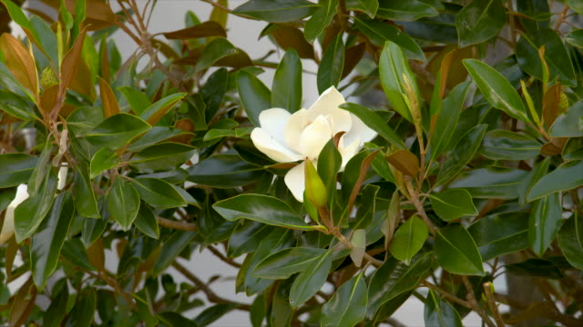 White flower on a southern magnolia tree
