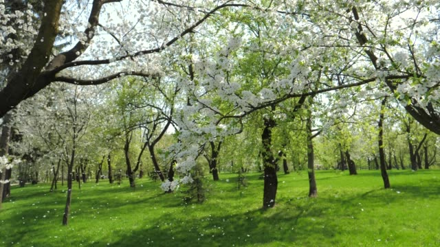 White Flowering Apple Trees In Spring In The Garden Slowly Falling Petals video