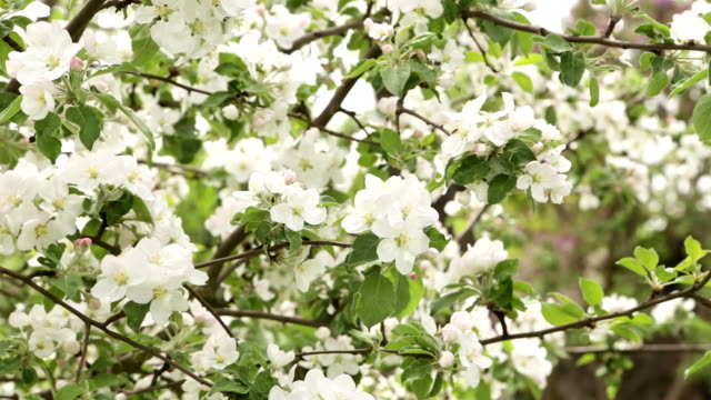 white flowers and buds of an apple - albicocco video stock e b–roll