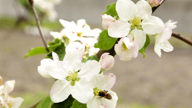 white flowers and buds of an cherries - albicocco video stock e b–roll