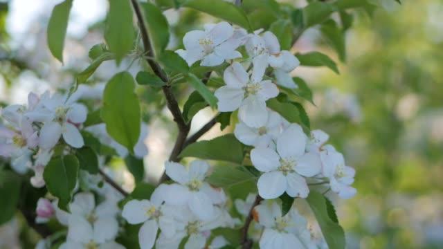 vita blommor blommar på äppel träd, närbild. - äppelblom bildbanksvideor och videomaterial från bakom kulisserna