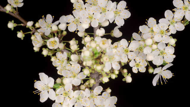 White Flowers Blossoms on the Branches Cherry Tree video