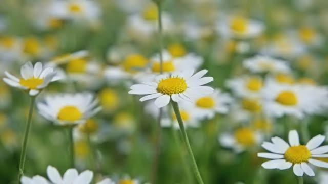 white flowers daysies on green field - нивяник стоковые видео и кадры b-roll