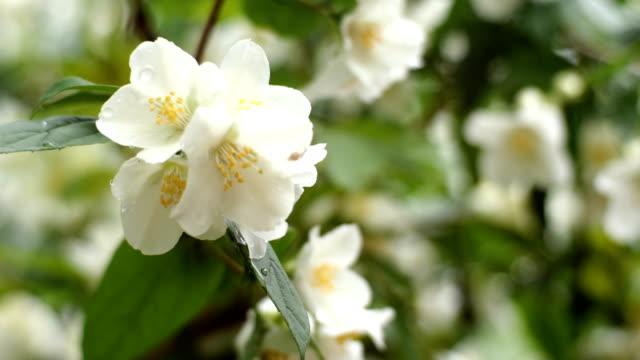 weiße blüten von jasmin oder jasminum officinale schwingen auf busch bei leichtem wind im frühling. - jasmin stock-videos und b-roll-filmmaterial