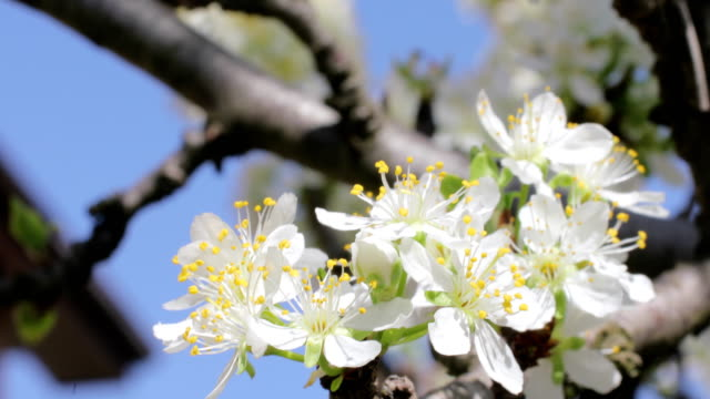 White flowers of the cherry blossoms video
