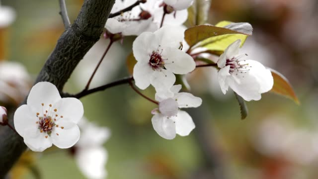 white flowers on fruit tree - albicocca video stock e b–roll