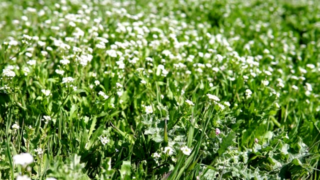 white flowers on green grass video