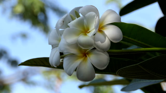 white flowers plumeria with blue sky video