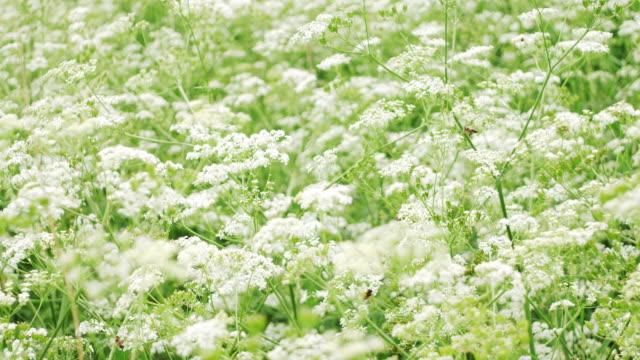 vídeos de stock e filmes b-roll de white flowes field - granadilha