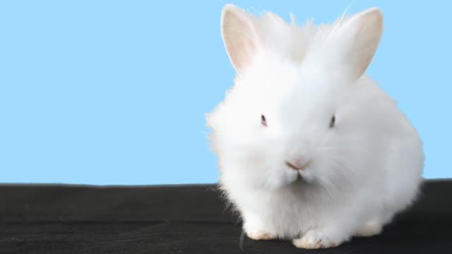 white fluffy bunny with blue background. - morrhår bildbanksvideor och videomaterial från bakom kulisserna