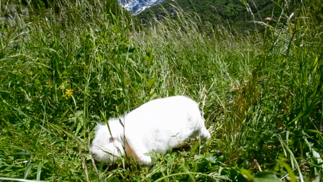 White fluffy cute rabbit explores the spring sunny meadow in Italian mountains.