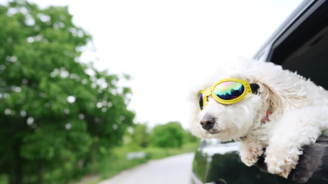 vídeos de stock e filmes b-roll de white fluffy poodle sticking head out of a moving car, wearing protective sunglasses - pendurar