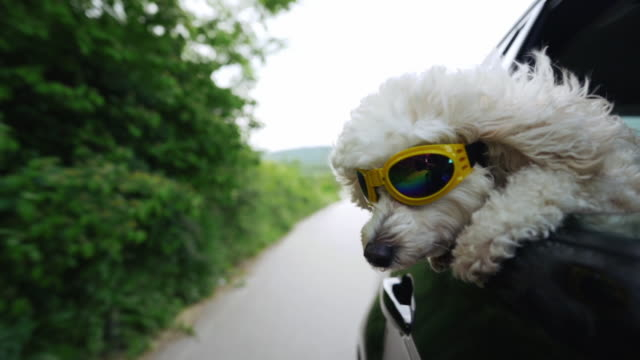 White fluffy poodle sticking head out of a moving car, wearing protective sunglasses