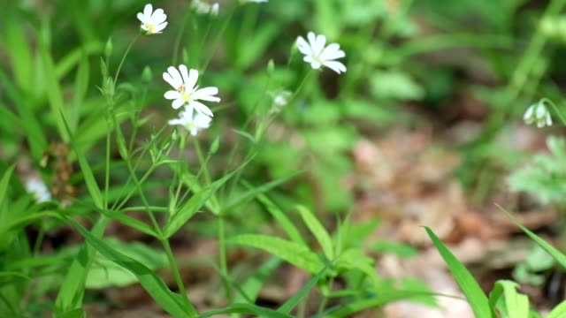 White forest flowers of greater stitchwort rustling in the wind (Stellaria holostea) video